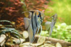 junge Amapa-Rotruecken Skalare 293 Tage alt